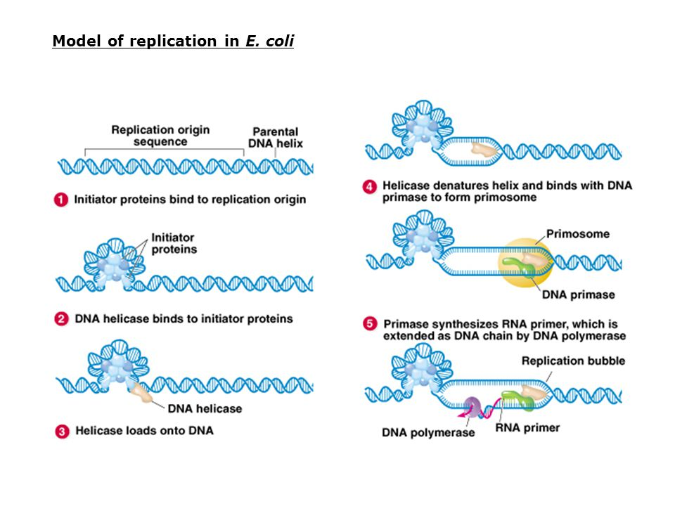 Model of replication in E. coli