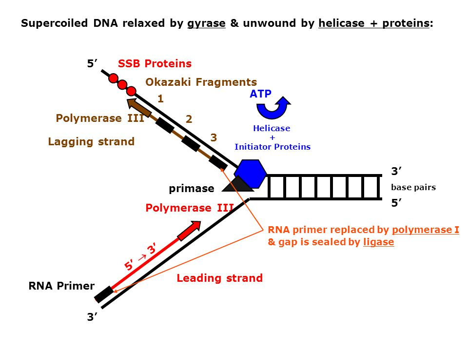 Supercoiled DNA relaxed by gyrase & unwound by helicase + proteins: