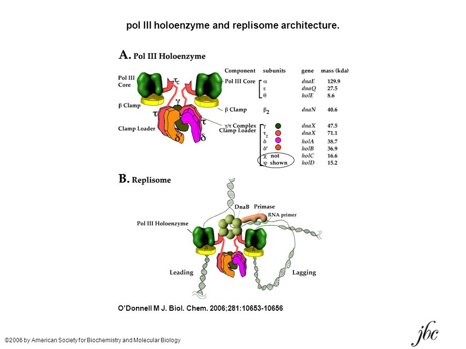 pol III holoenzyme and replisome architecture.