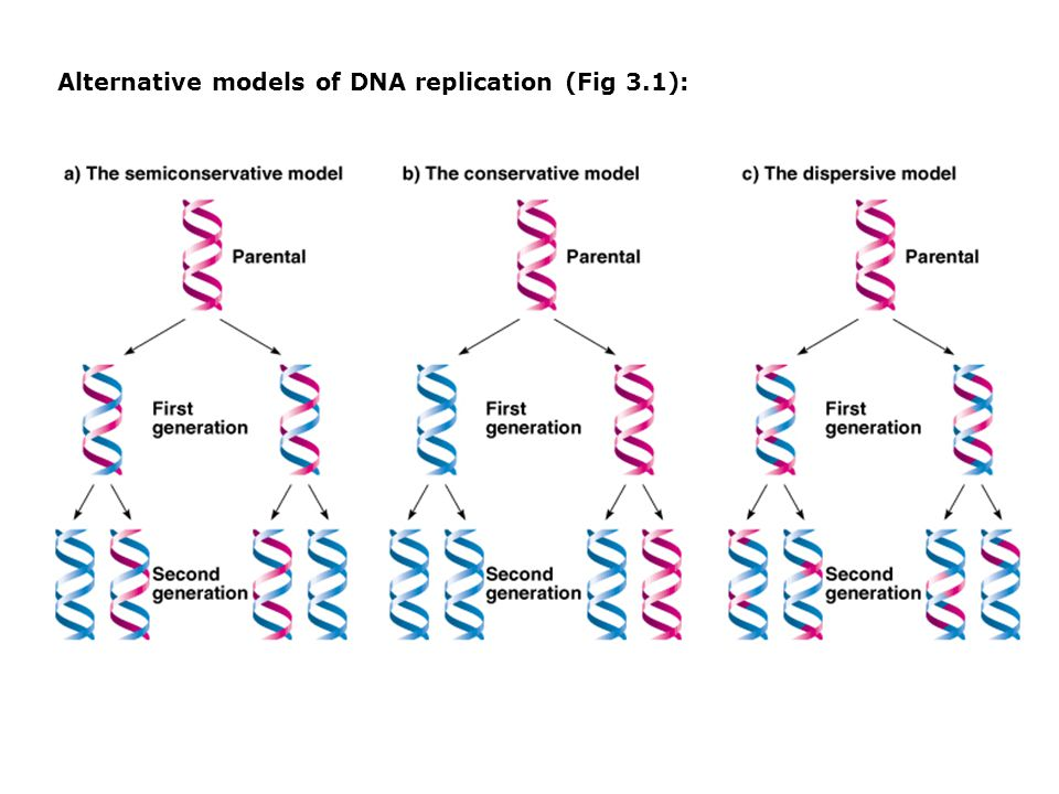 Alternative models of DNA replication (Fig 3.1):