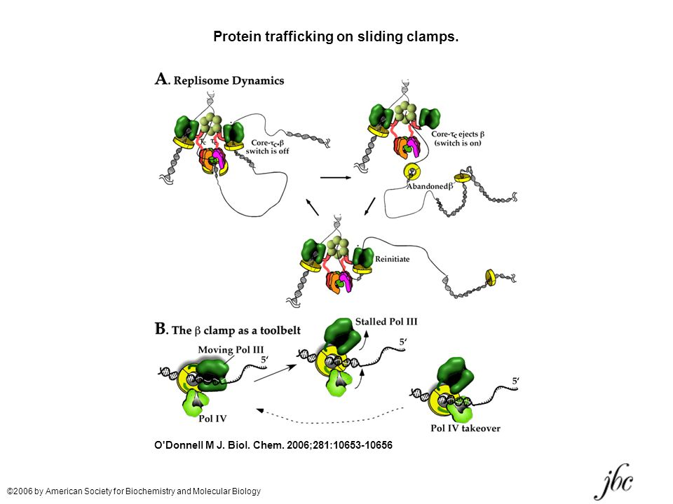 Protein trafficking on sliding clamps.