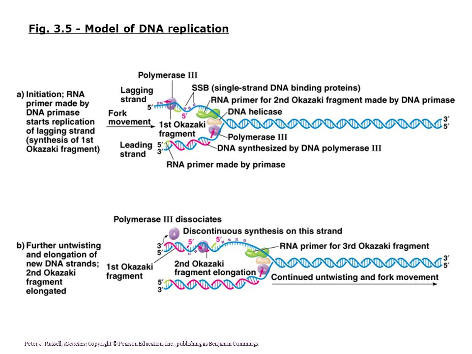 Fig. 3.5 - Model of DNA replication