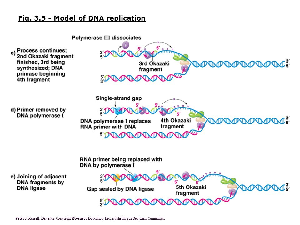 Fig Model of DNA replication