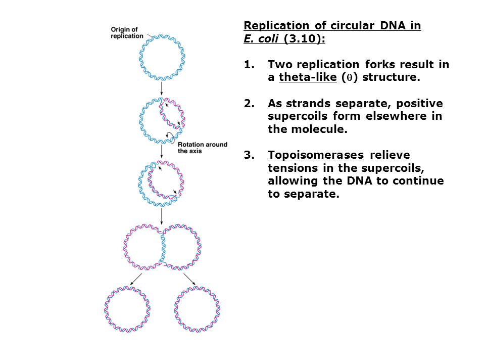 Replication of circular DNA in
