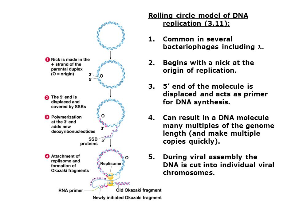 Rolling circle model of DNA replication (3.11):