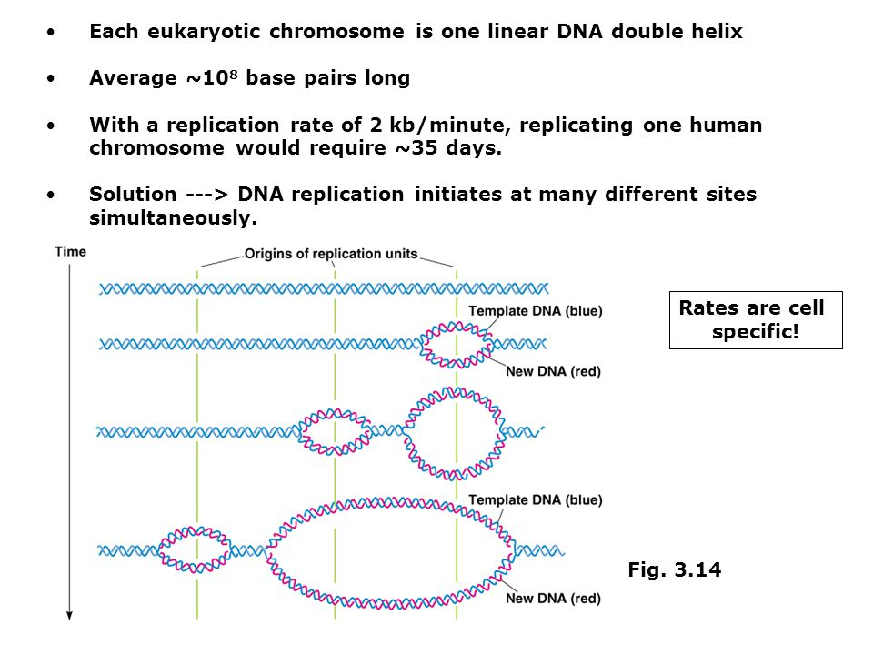 Each eukaryotic chromosome is one linear DNA double helix