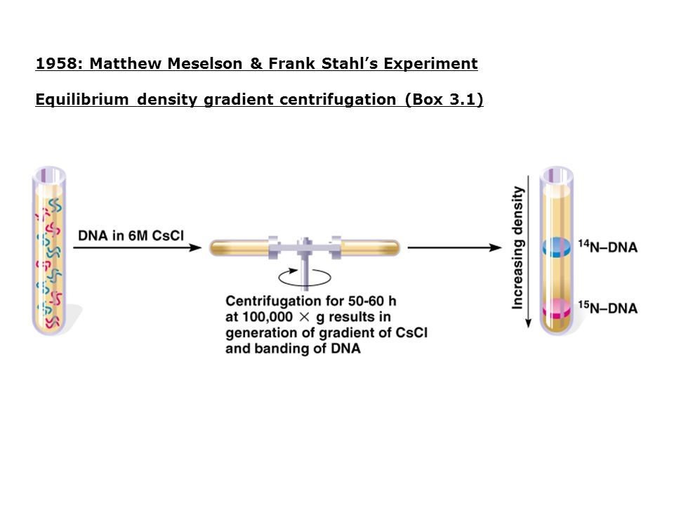 1958: Matthew Meselson & Frank Stahl's Experiment