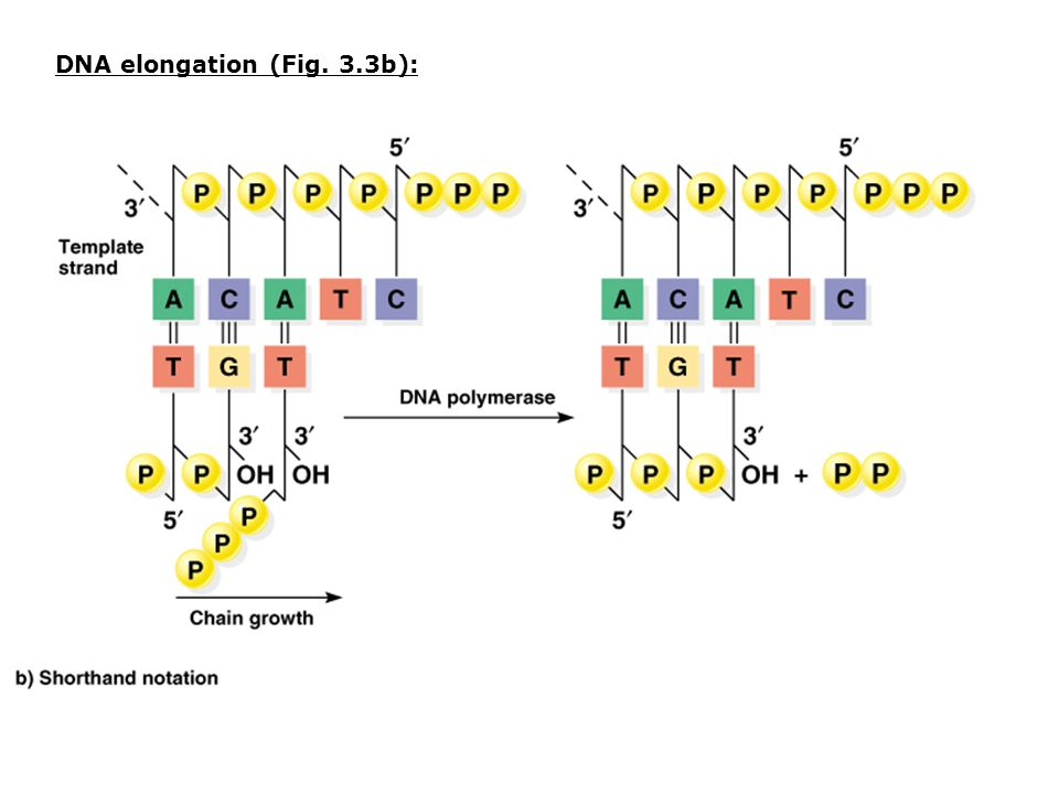 DNA elongation (Fig. 3.3b):