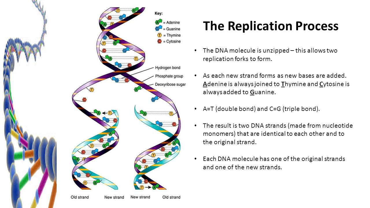 Dna replication chapter ppt download the replication process pooptronica