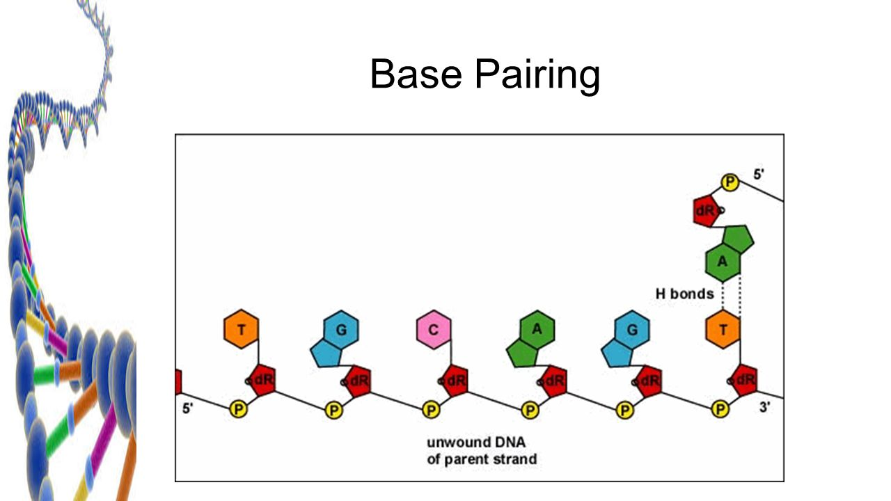 Dna replication chapter ppt download the replication process 5 base pairing pooptronica