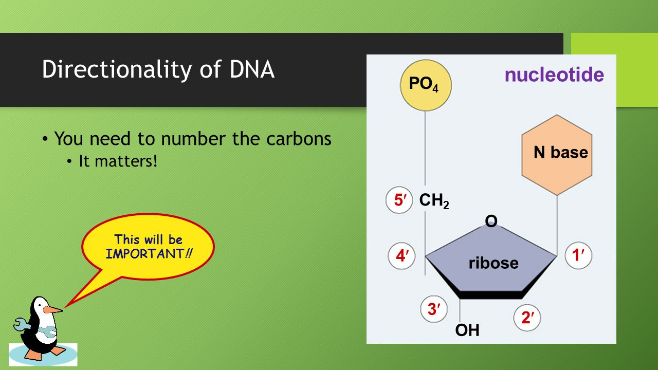 Dna replication ppt video online download directionality of dna nucleotide you need to number the carbons po4 pooptronica
