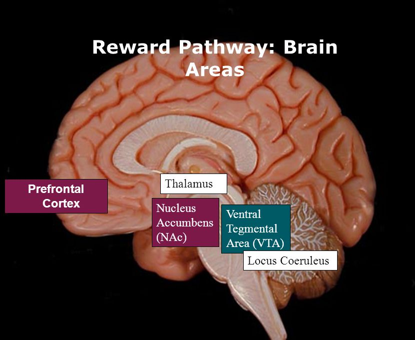 """the brains rewarding system addiction The brain's endorphin system plays an important role in our sense of pleasure, pain and reward, and there is growing evidence that an imbalance in this system could underpin addiction addiction is sometimes described as a """"reward deficient"""" state, in which individuals are unable to derive happiness or an """"endorphin rush"""" from."""