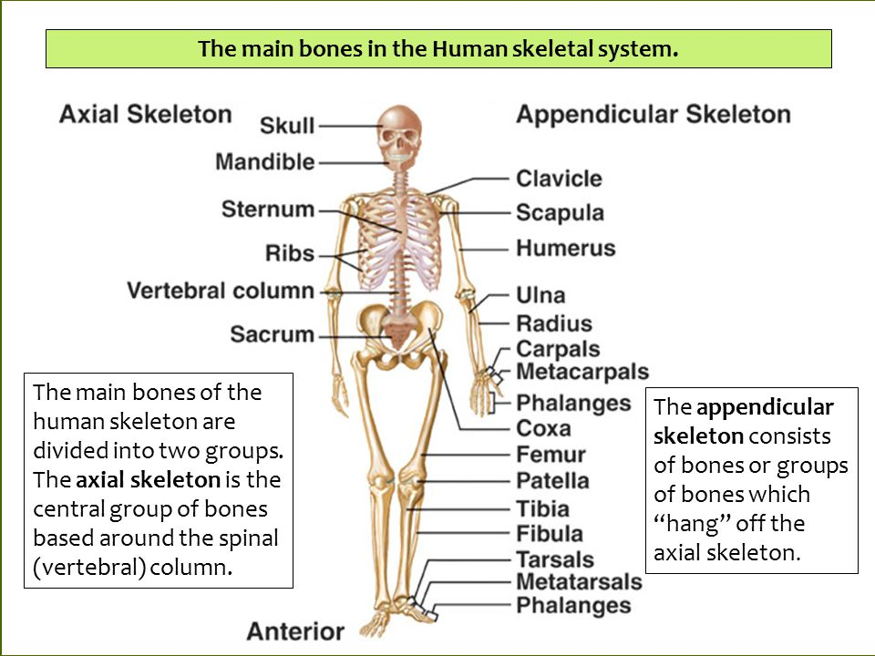 biology year 10 human biology year 10 science ppt video online, Skeleton