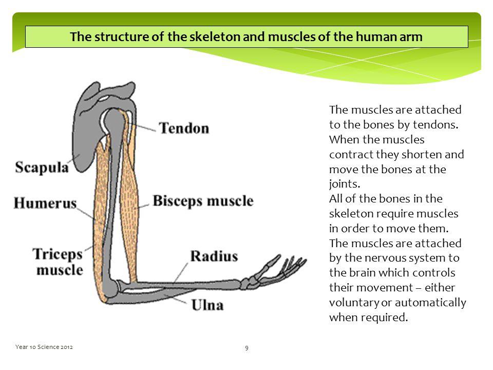 Human arm bones