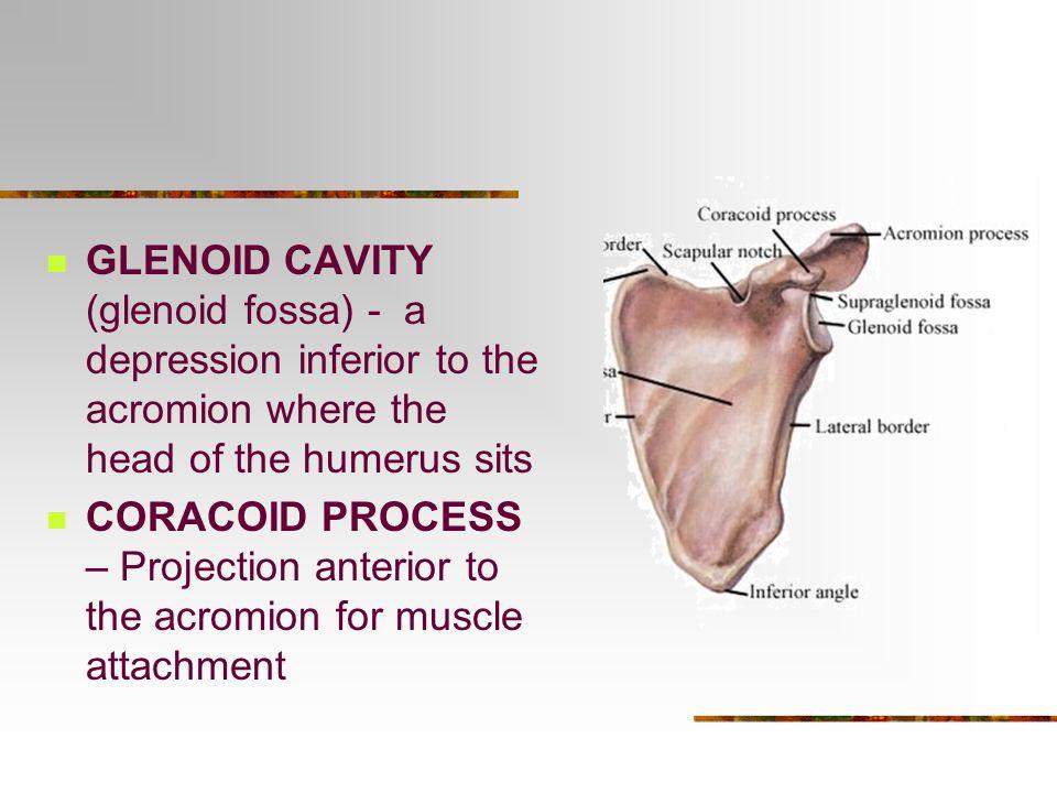 appendicular skeleton - ppt video online download, Cephalic Vein