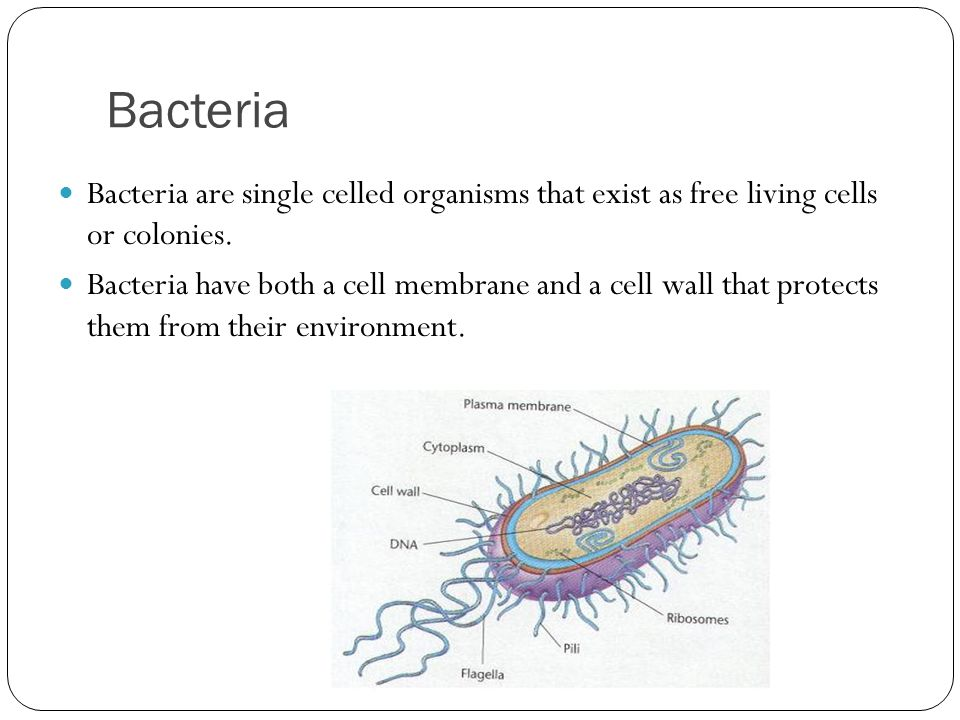 Bacteria Bacteria are single celled organisms that exist as free living cells or colonies.