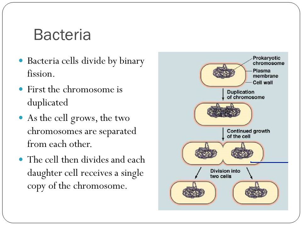 Bacteria Bacteria cells divide by binary fission.