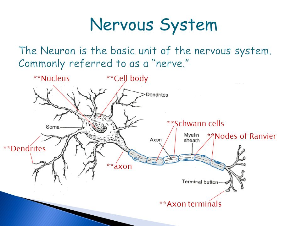 cranium skeletal system diagram labeled nervous system the neuron is the basic unit of the nervous ... nervous system diagram labeled quizlet