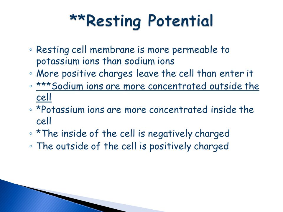 **Resting Potential Resting cell membrane is more permeable to potassium ions than sodium ions. More positive charges leave the cell than enter it.