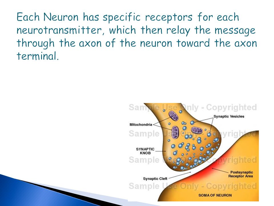 Each Neuron has specific receptors for each neurotransmitter, which then relay the message through the axon of the neuron toward the axon terminal.