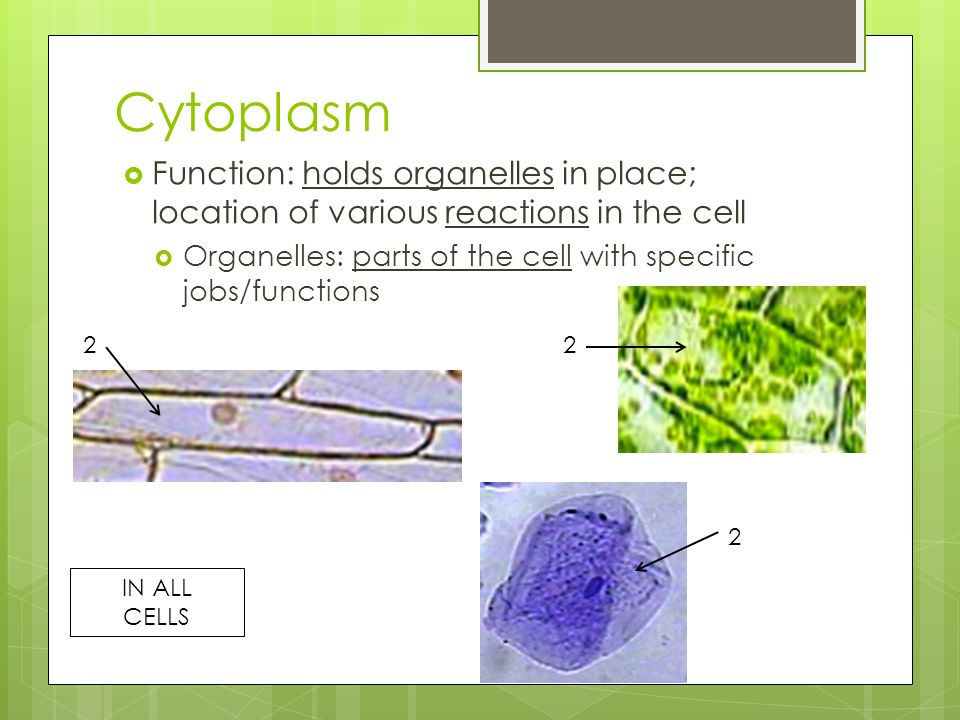 Cytoplasm Function: holds organelles in place; location of various reactions in the cell. Organelles: parts of the cell with specific jobs/functions.