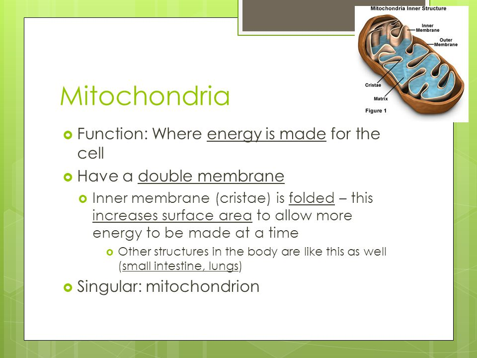 Mitochondria Function: Where energy is made for the cell