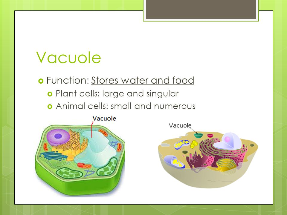 Vacuole Function: Stores water and food