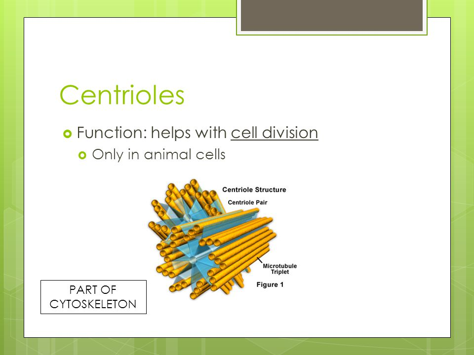 Centrioles Function: helps with cell division Only in animal cells