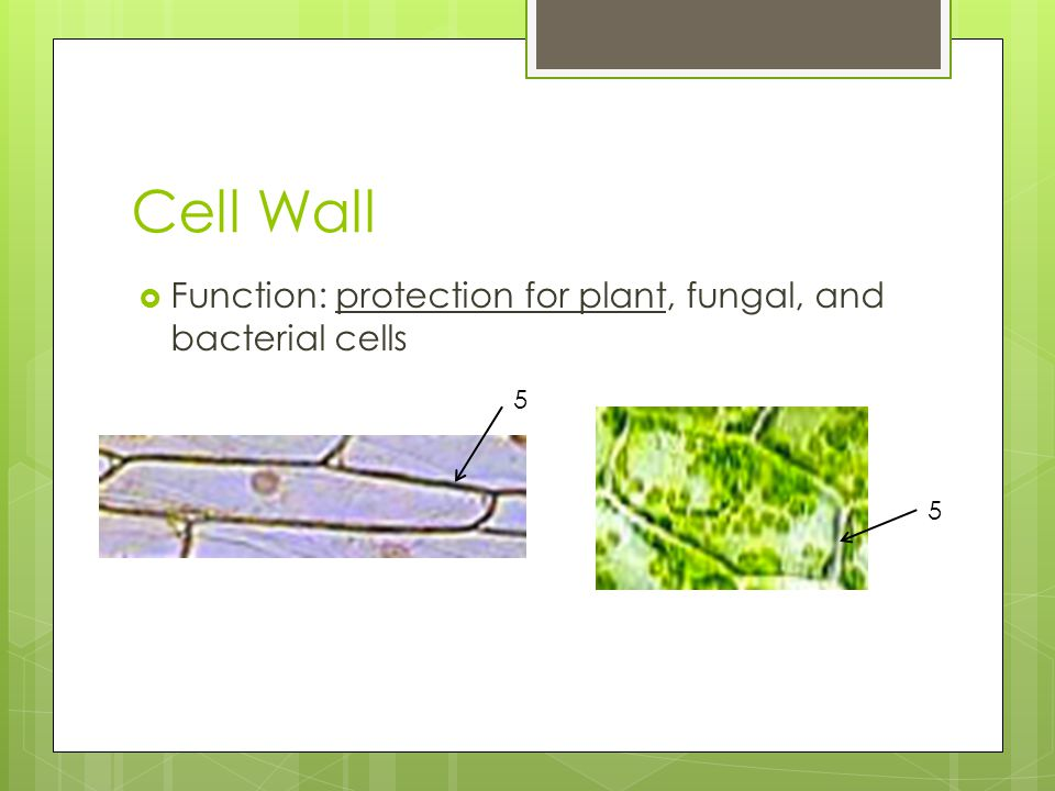 Cell Wall Function: protection for plant, fungal, and bacterial cells