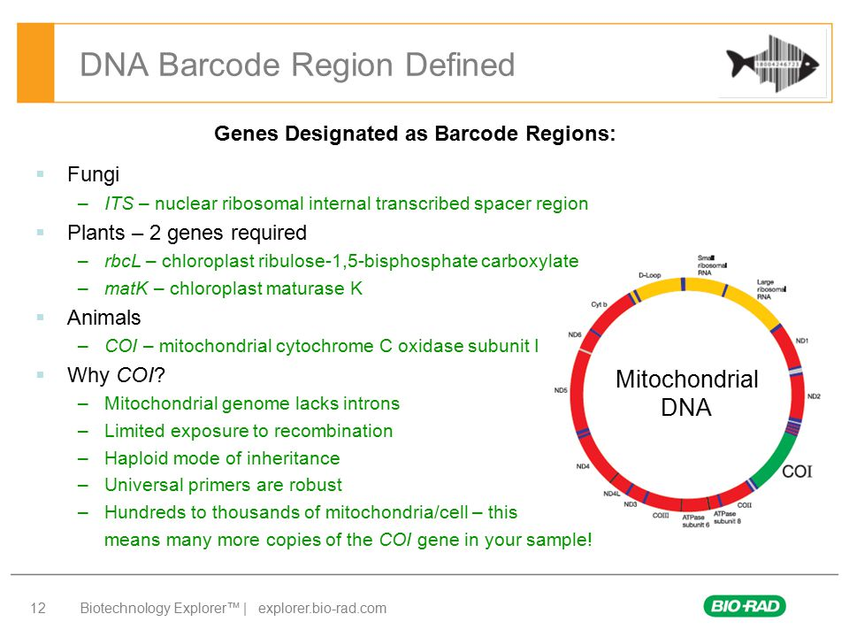 mitochondrial dna barcoding Background dna barcoding aims to assign individuals to given species according to their sequence at a small locus, generally part of the co1 mitochondrial gene.