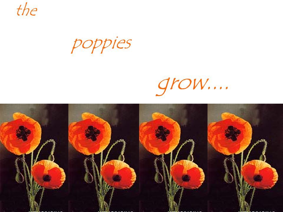 the poppies grow....