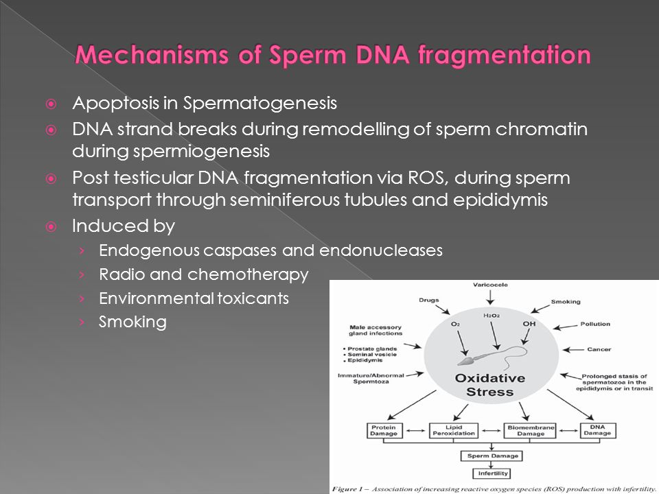 Mechanisms of Sperm DNA fragmentation