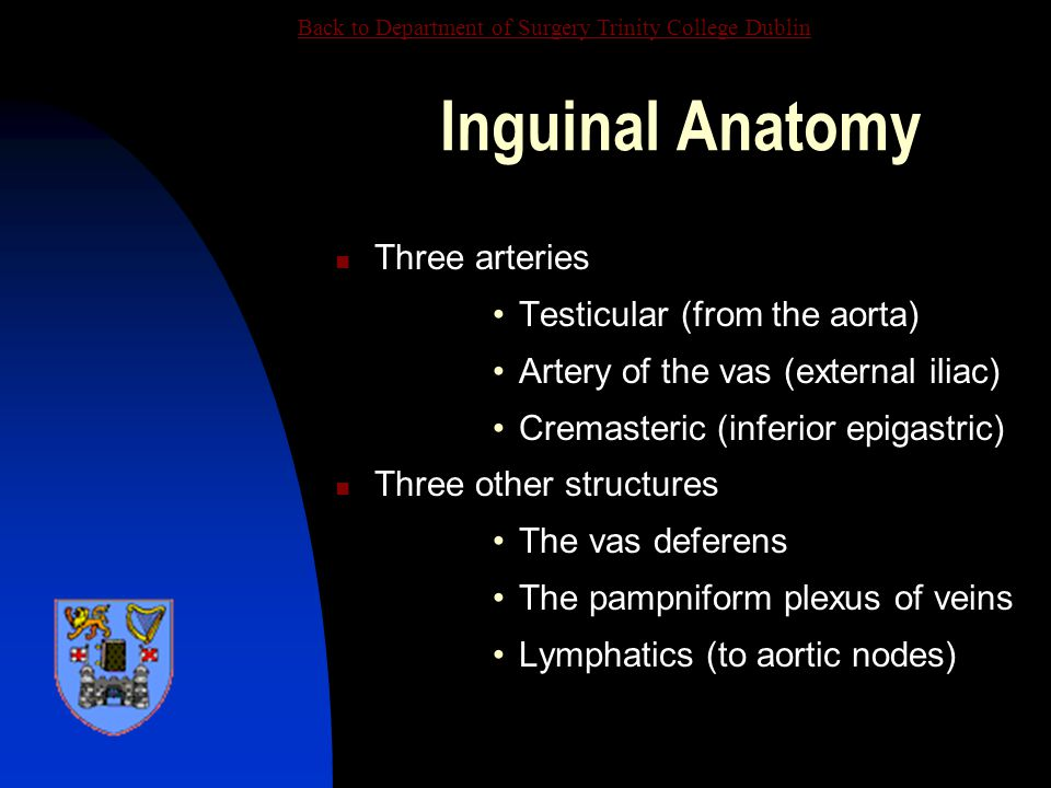 Inguinal Anatomy Three arteries Testicular (from the aorta)