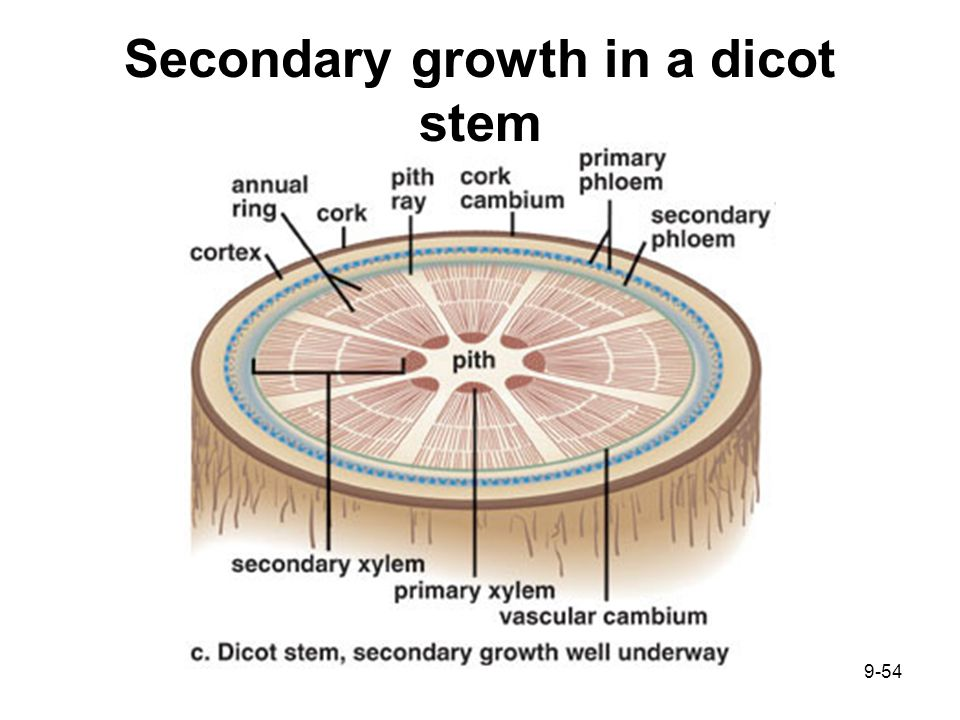 Chapter 9 plant organization ppt download secondary growth in a dicot stem ccuart Images
