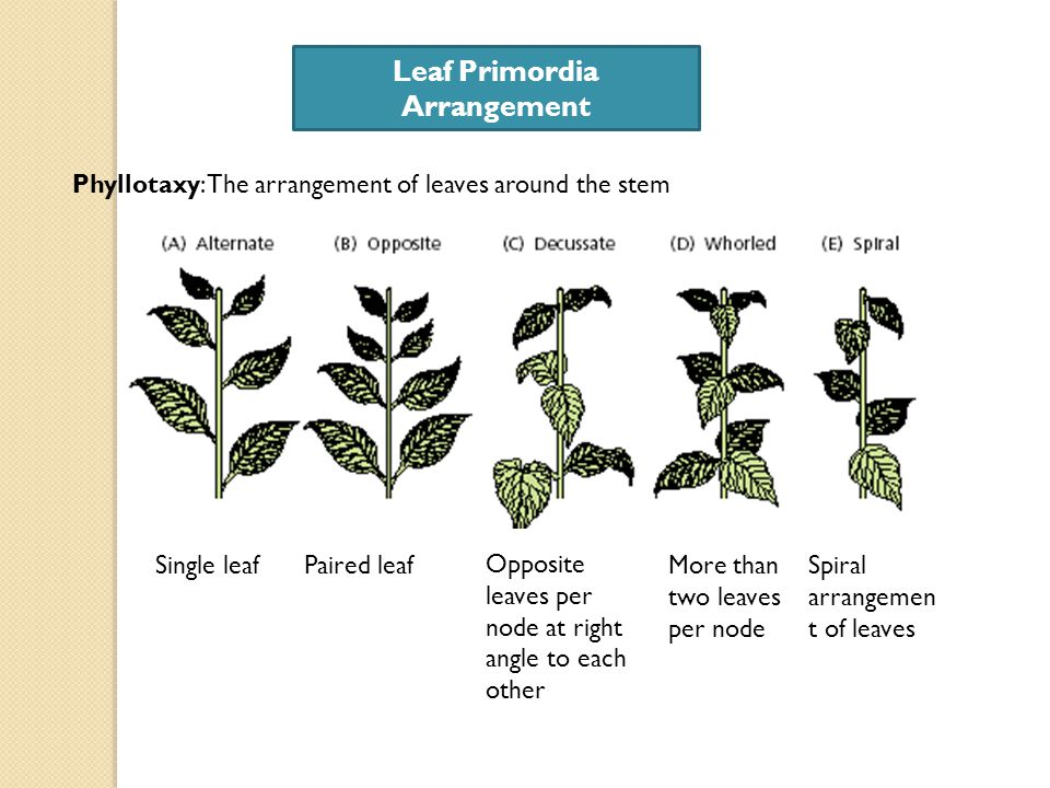 Plant growth and development ppt video online download leaf primordia arrangement sciox Gallery