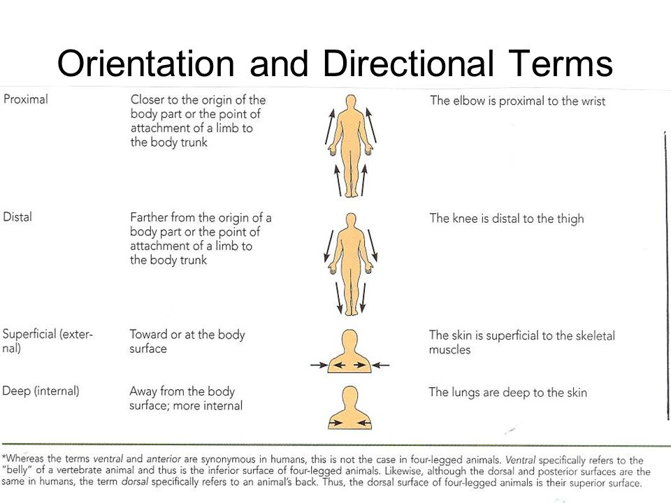 Orientation And Directional Terms Anatomy