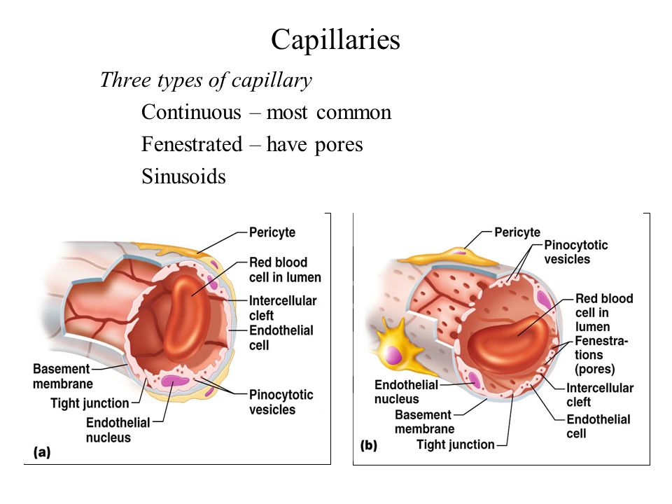 Capillaries Three types of capillary Continuous – most common