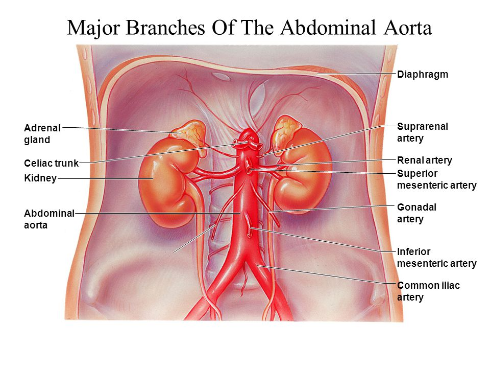 Major Branches Of The Abdominal Aorta