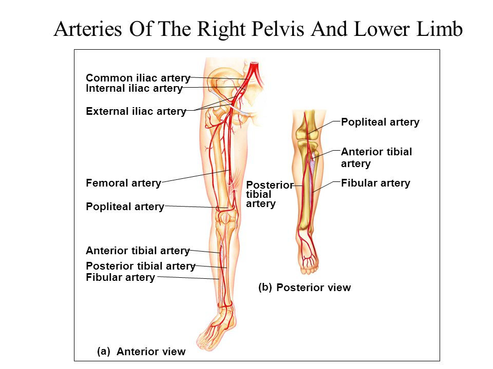 Arteries Of The Right Pelvis And Lower Limb