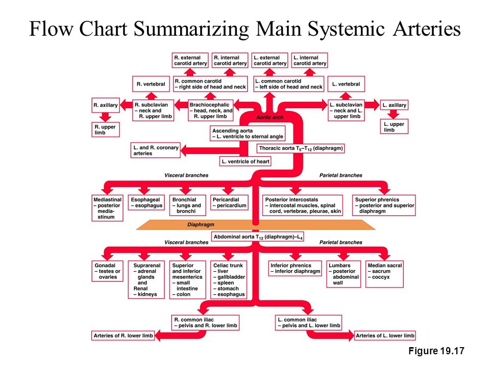Flow Chart Summarizing Main Systemic Arteries