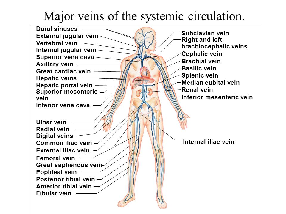 Major veins of the systemic circulation.
