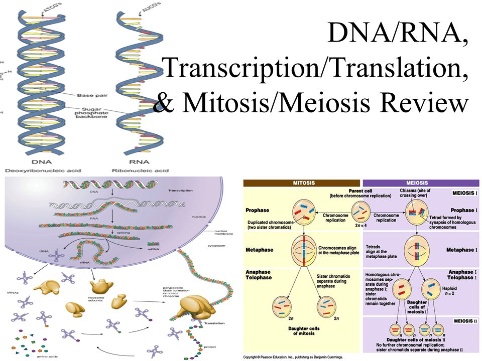 DNA/RNA, Transcription/Translation, & Mitosis/Meiosis Review - ppt ...