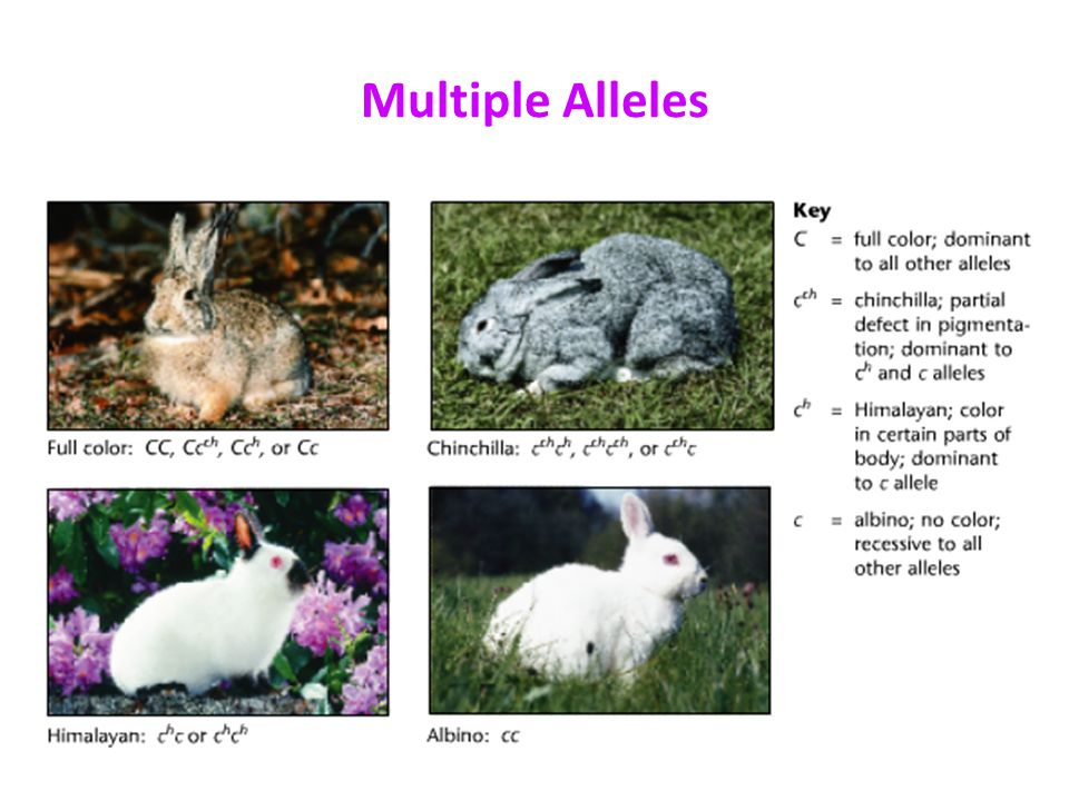 Beyond Dominant & Recessive Alleles - ppt download