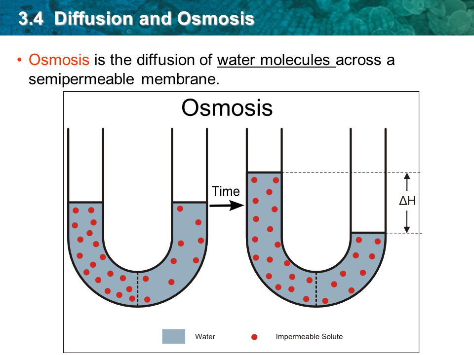diffusion across permeable membrane Diffusion across a semipermeable membrane type  diffusion of a substance across a membrane diffusion is the process of a  permeable, meaning that their.