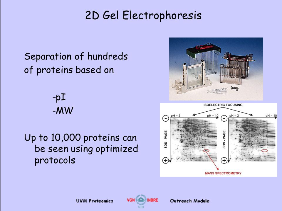 an analysis of the separation of native proteins by electrophoresis Electrophoresis (sds-page) analysis of purified  moves proteins through a gel matrix sds-page, like horizontal agarose gel electrophoresis, separates the.