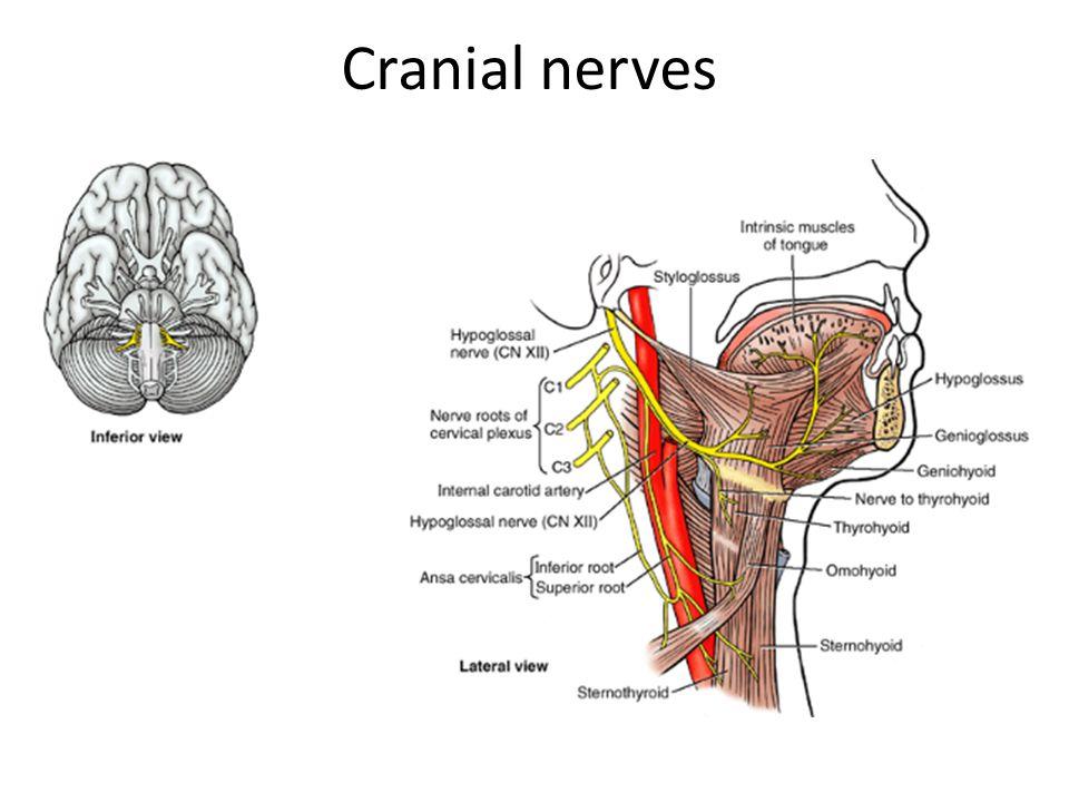 Anatomy Of Hypoglossal Nerve