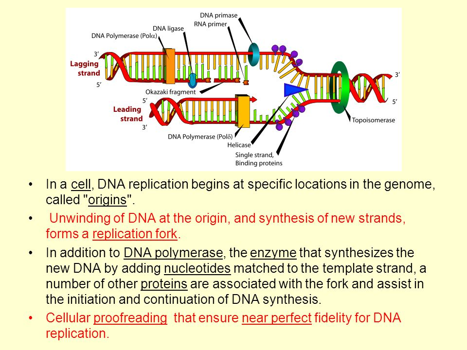 Basics of molecular biology ppt video online download in a cell dna replication begins at specific locations in the genome called origins pronofoot35fo Choice Image