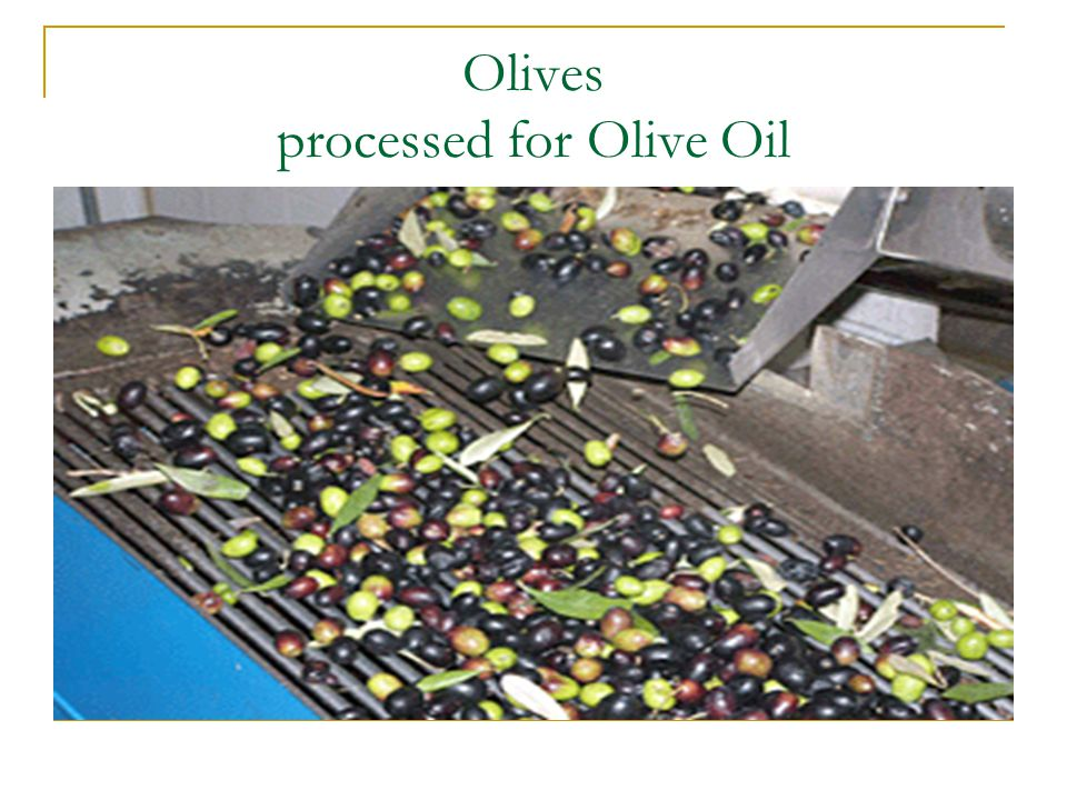 Olives processed for Olive Oil