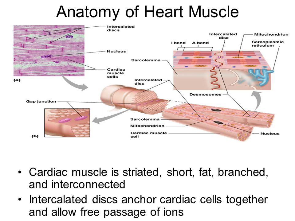 branched cardiac muscle fiber - photo #41