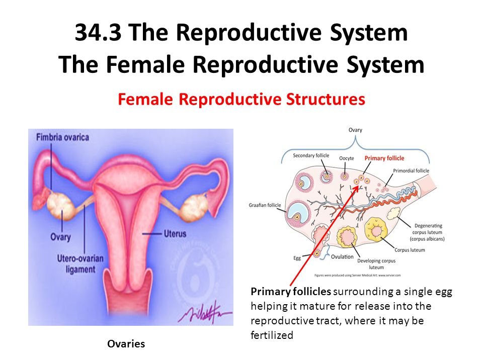 endocrine system and reproductive system Female external reproductive organs the ovaries are part of the endocrine system and produce estrogen and progesterone how the female reproductive system.